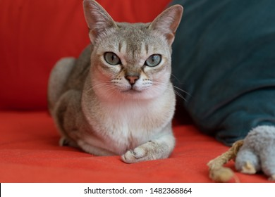 Singapura cat with mouse on the red sofa. the smallest cat breed in the world.