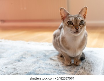 Singapura cat on the carpet. the smallest cat breed in the world.
