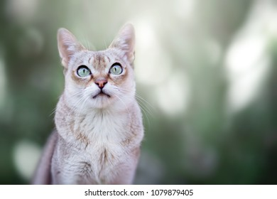 Singapura cat portrait