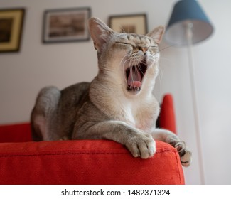 Singapura cat yawning on the red sofa. the smallest cat breed in the world.