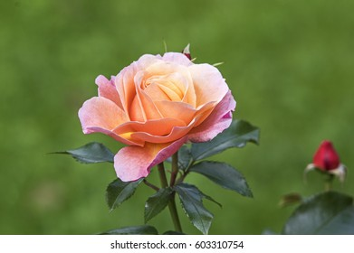 Singe rose blossom