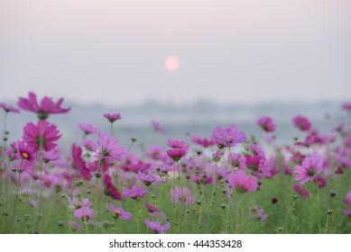 Singha Park cosmos garden chiangrai