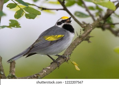 Singing adult breeding male Golden-winged Warbler perching on a tree branch