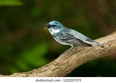 A singing adult male Cerulean Warbler perching on a tree branch