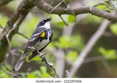 A singing adult male Yellow-rumped Warbler perching on a tree branch