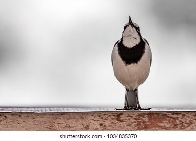 Singing African pied Wagtail