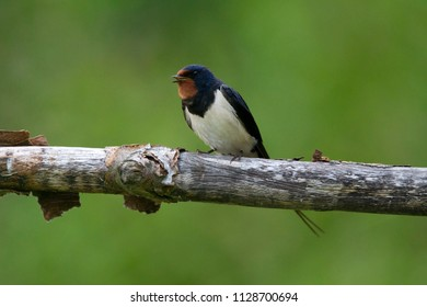 Singing barn swallow is sitting on a branch at viewing hut Diependal in Oranje, the Netherlands
