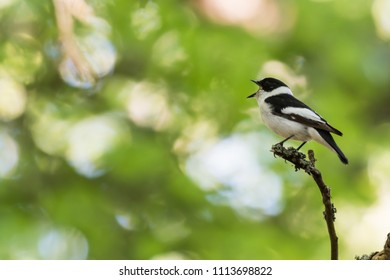 Singing beautiful male Collared Flycatcher, Ficedula Albicollis, sitting on a twig in the forest by spring season
