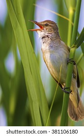 Singing bird. Nature habitat background. Bird: Great Reed Warbler. Acrocephalus arundinaceus.