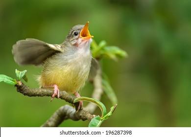 Singing bird singing at tree branch