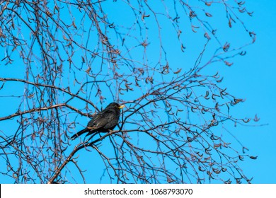 Singing Blackbird sitting in a birch tree - a beautiful springtime sign