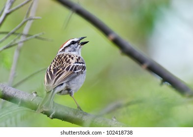 Singing Chipping Sparrow Perched in a Tree