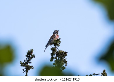 Singing Common Linnet sitting in the top of a juniper bush