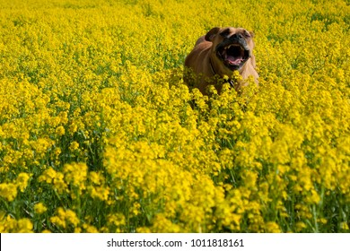 A  singing dog running through yellow meadow - doesn't have a care in the world!