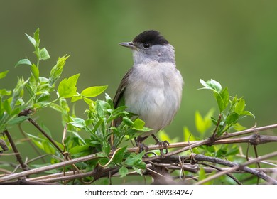 Singing Eurasian blackcap (Sylvia atricapilla) in spring. Male Blackcap  perched on a branch in the forest.