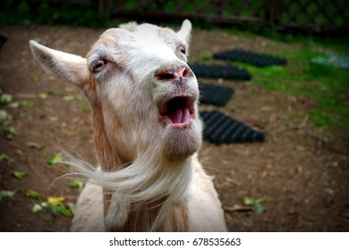Singing Goat