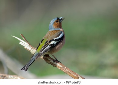 Singing male of chaffinch on a branch. Fringilla coelebs.