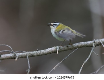 Singing male Firecrest (Regulus ignicapillus) sitting on a branch.