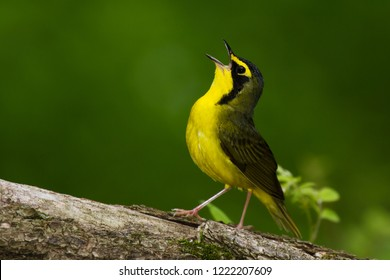 A singing male Kentucky Warbler perching on a tree log