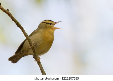 A singing male Worm-eating Warbler perching on a tree branch