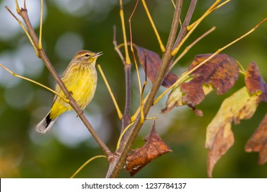 A singing non-breeding male eastern Palm Warbler perching in a tree