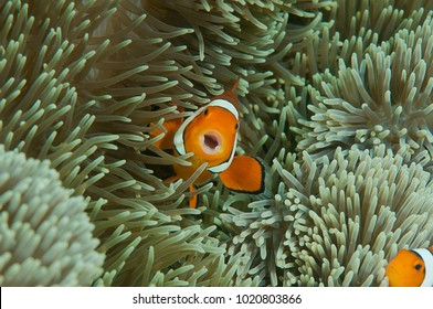 The singing ocellaris clownfish( Amphiprion ocellaris ) or false clown anemonefish  shelters itself among the venomous tentacles of a magnificent sea anemone ( Heteractis magnifica ), Bali, Indonesia