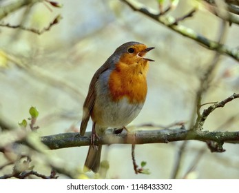 Singing  Perched Robin
