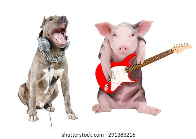 Singing a pit bull in the headphones and a pig plays guitar together isolated on white background