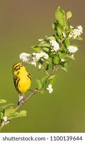 Singing Prairie Warbler