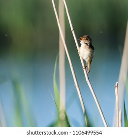 Singing Reed Warbler, Acrocephalus Scirpaceus, in its natural habitat in the reeds at the swedish island Oland