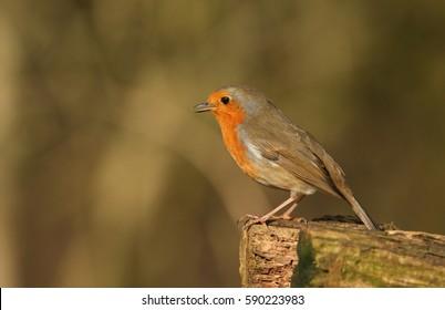 A singing Robin (Erithacus rubecula).