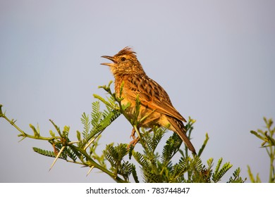 singing rufous-naped lark, Mirafra africana, on top of the tree branch
