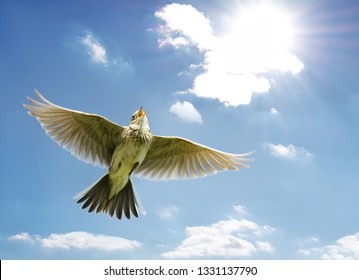 Singing Skylark in flight over blue sky.