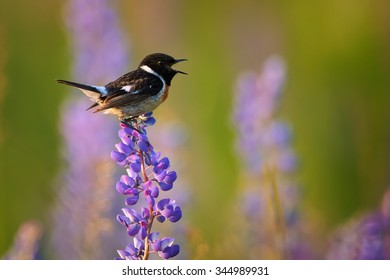 Singing Stonechat in close up distance on a blue and purple lupine in very colorful  spring meadow lit by light of setting sun