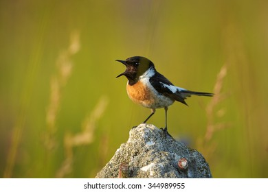 Singing Stonechat in close up distance on a rock in very colorful  spring meadow lit by light of setting sun