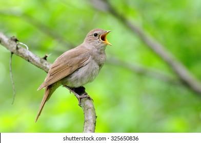 Singing Thrush nightingale (Luscinia luscinia) against green background. Near Moscow, Russia
