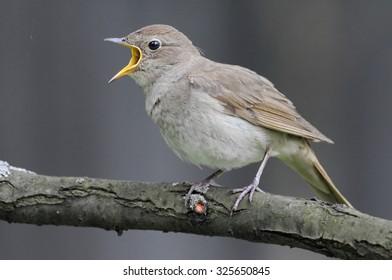 Singing Thrush nightingale (Luscinia luscinia) against grey background.Nnear Moscow, Russia
