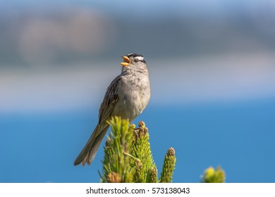 Singing white-crowned sparrow (Zonotrichia leucophrys) perched on top of an evergreen shrub with a blurred blue and gray background at Yaquina Head Outstanding Natural Area, Newport, Oregon.