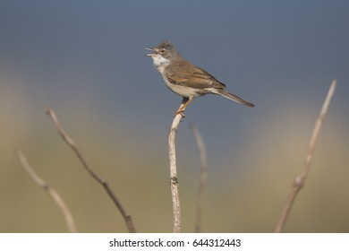 Singing Whitethroat perching on a pale twig