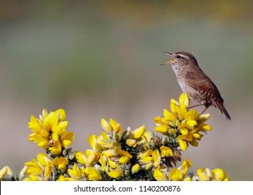Singing wren on gorse bush