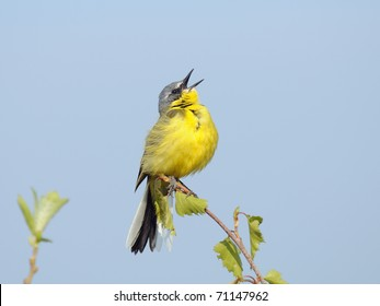 Singing Yellow Wagtail/Male of Yellow Wagtail sings attracting attention of his bride