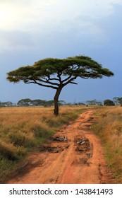 A single acacia tree along a long dirt track road