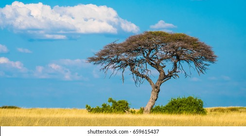 Single acacia tree growing in the sueda waterhole in the middle of endless arid grasslands, Halali, Etosha National Park, Namibia