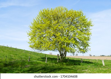 Single Acer campestre, known as the field maple, on a meadow near Elze, district Hanover, Lower Saxony, Germany. Flowering tree in spring time of soapberry and lychee family Sapindaceae.