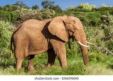 Single adult elephant in bush with vegetation in the background, safari in Maasai Mara National Park, Tanzania, Africa.