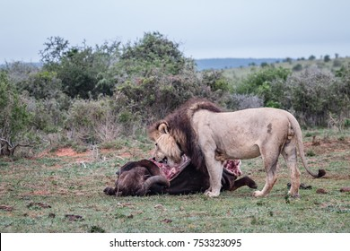 Lion Eating Images, Stock Photos & Vectors   Shutterstock