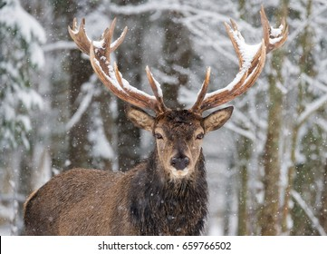 Single Adult Noble Deer With Big Beautiful Horns On Snowy Field,Look At You. European Christmas Wildlife Landscape With Snow And Deer With Big Antlers.Portrait Of Lonely Stag Under Falling Snowflakes.