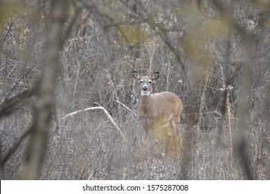 Single Adult White Tailed Deer in Woodlands in Autumn.State Animal of Arkansas, Illinois, Michigan,Mississippi,Nebraska, New Hampshire, South Carolina, Ohio and Pennsylvania.