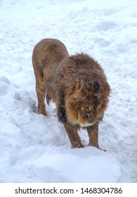 Single African Lion on snow. Male lion playing on snow in Warsaw zoo in Poland. White background. Frontal view.