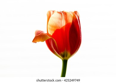 A single  aging orange tulip with light from behind and a folded fading petal on a white background.
